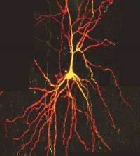 Function of a neglected structure in neurons revealed after 50 years