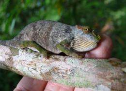New chameleon species discovered in East Africa