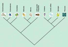 New Cladogram of Metazoans