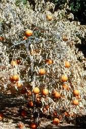 New Method Tests Severity of Key Citrus Virus