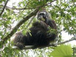 New orangutan population found in Indonesia (AP)