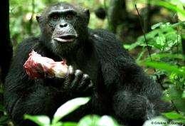 Wild chimpanzees exchange meat for sex