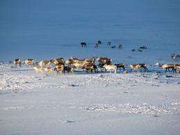 Satellite snow maps help reindeer herders adapt to a changing Arctic