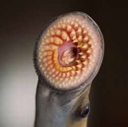 Sea lampreys jettison one-fifth of their genome