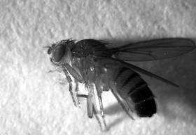 Soaring or snoring? Fruit fly's immune system responds differently when asleep