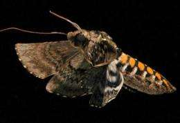 Straighten up and fly right: Moths benefit more from flexible wings than rigid