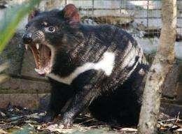 Tasmanian devils listed as endangered in Australia (AP)
