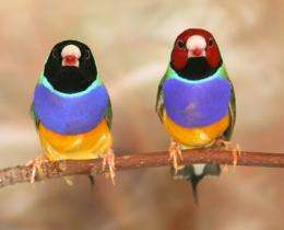 The endangered Gouldian finch