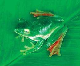 The flying frog's large webbed feet allows it to glide when falling