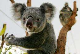 The koala faces starvation as the nutritional quality of eucalyptus leaves declines, the report says