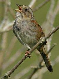 The Swamp Sparrow