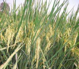 Traditional Thai hill farmers help preserve genetic diversity of rice