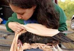 Tribal effort to fix broken world hinges on condor (AP)
