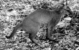 Yale Camera Captures Images of Rare African Golden Cat