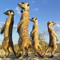 Tradition explains why some meerkats are late risers