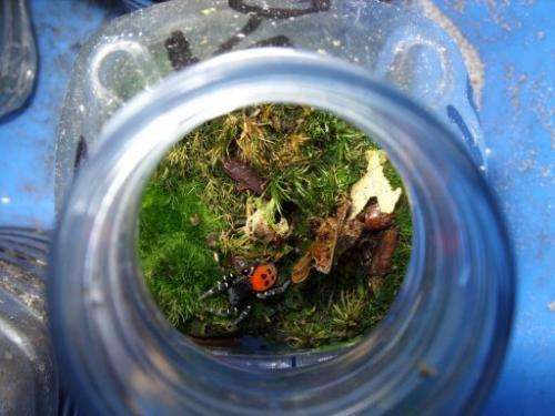 A ladybird spider in a plastic bottle ready to move house