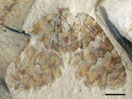 A new species of fossil silky lacewing insects that lived more than 120 million years ago