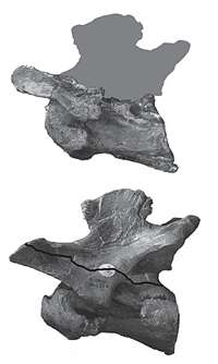 First Australian spinosaur dinosaur had global distribution