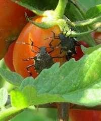 Invasive bugs cause tremendous damage in Maryland