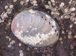NOAA designates critical habitat for black abalone