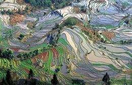 Los orígenes del arroz apuntan a China, concluyen los investigadores del genoma