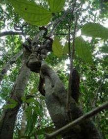 Stranglers of the tropics -- and beyond