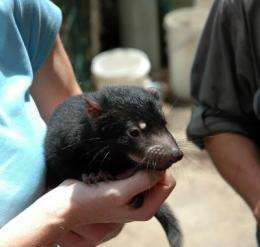 Tasmanian devil's genome sequenced