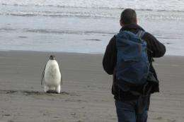 """The Emperor penguin, nicknamed """"Happy Feet"""", was found wandering on a North Island beach in New Zealand"""