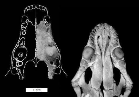 Weird Australian hammer-tooth marsupial fossil found
