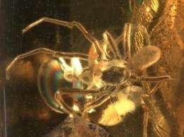 Hi-tech scans catch prehistoric mite hitching ride on spider