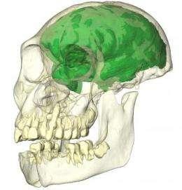 Human brain evolution, new insight through X-rays