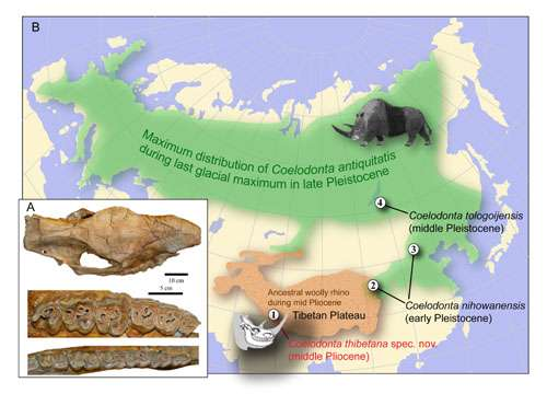 Researchers discover important woolly rhino fossil