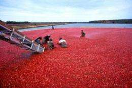 Giving thanks: Rutgers works to build a better cranberry