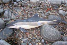 Insights into brucella and other gram negative bacteria infecting marine mammals
