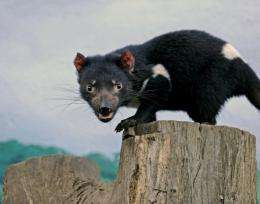 Tasmanian Devils were declared endangered in 2009 after contagious cancer began sweeping through the population