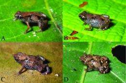World's smallest frogs discovered in New Guinea