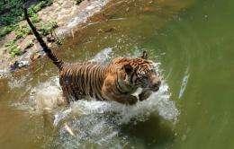 A 12-year-old Sumatran tiger jumps into the water within its enclosure at Ragunan Zoo