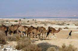 A Bedouin Arab man walks with his camels in the Jordan Valley near the border with the occupied West Bank