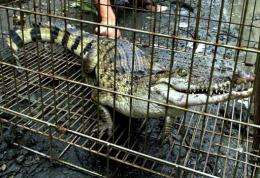 A captured crocodile is seen in a cage in Manila in 2001