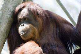 A happy life is a long one for orangutans