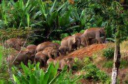 A herd of endangered Sumatran elephants roam in forested area of East Aceh district in 2010