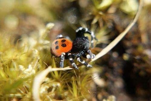 A ladybird spider, Britain rarest spider species