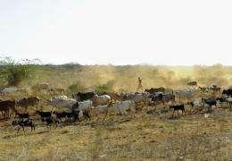 A man herds livestock in Maungu, a village some 304 kilometres southeast of the Kenyan capital, Nairobi