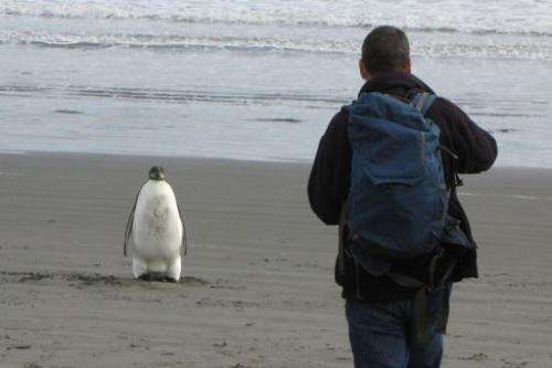 An Emperor penguin in New Zealand, some 3,000 kilometres (1,900) from his Antarctic home