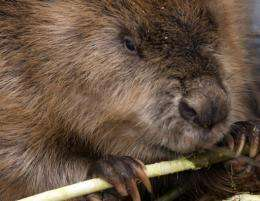 An oil spill near the native village of Little Buffalo in Canada's Alberta province was partly contained by a beaver dam