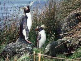 An undated photo of rockhopper penguins