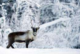 A reindeer is seen near the village of Vuollerim, Lapland province, west of the coastal city of Luleaa, in 2010