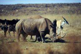 A rhinocero grazes in the private Rhino and Lion Nature Reserve in Krugersdorp, north of Johannesburg, in 2010
