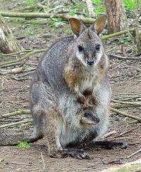 Australian mammals take on antibiotic-resistant bugs