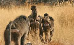 Baboons follow the leader to breakfast